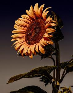 3 Sunflower at Sunset