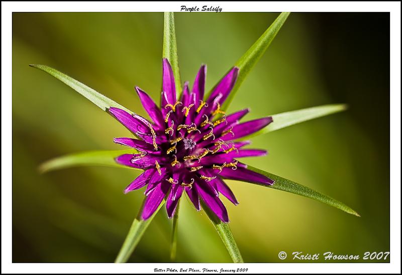 Purple Salsify