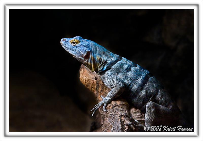 Baja Blue Lizard