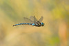 Paddle-tailed Darner by Bruce Whittington.