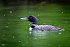 Wet Loon