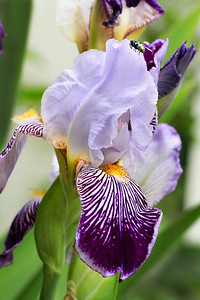 Iris (Greek Goddess of the Rainbow)