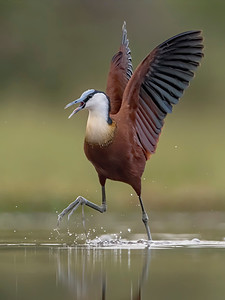 Jacana on the move