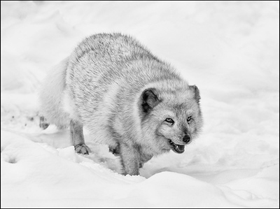 Arctic Fox Hunting
