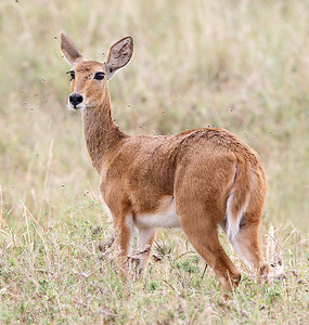 Female Bohor Reedbuck