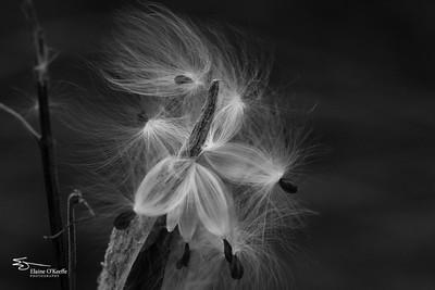 Whimsical milkweed