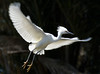 An egret takes to flight suddenly from the palm branch.