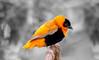 digital_orange beaver weaver finch