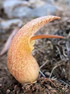 Biarum davisii ssp. davisii, Crete, entry to NRV photographic competition 2010