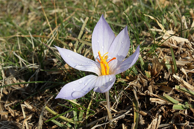 Crocus cancellatus ssp. damascenus, entry to NRV photographic competition 2011