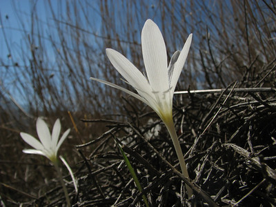 Colchicum boissieri - rare white flowering forms (east of Bozdağ, road up in the mountains, from a pass on foot to 1770m, Bozdağlar), entry to NRV photographic competition 2011