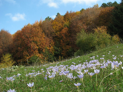 Crocus pulchellus (meadow just after entrance to Uludağ Millî Parkı, 1350m), entry to NRV photographic competition 2011