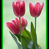 Tulips In The Mist