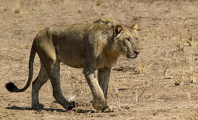 annie nash zambian lion blending in