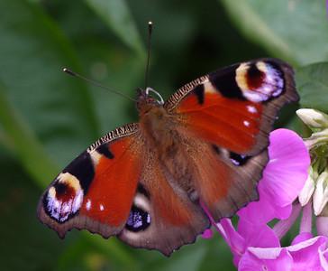 Rita Giblin Peacock Butterfly