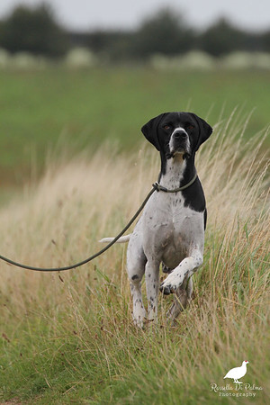Pointer Club Open Breed 7-09-2017