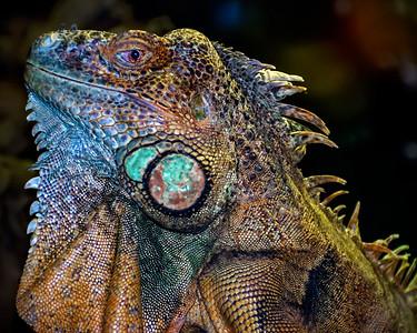 6 Iguana