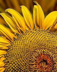 4 Sunflower