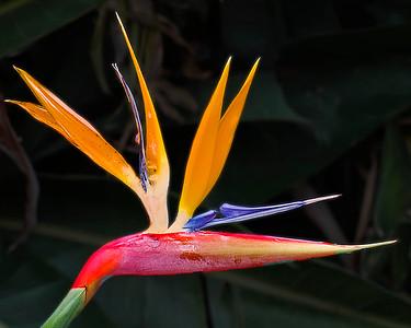 1 Bird of Paradise
