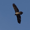 Nature. A bearded vulture or lammergeier captured overhead in Crete, at the head of the Samaria gorge.