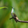 "Nature: White-chested Hummingbird. Taken in Trinidad at Yerette in the Maracas Valley, see <a href=""http://yerette.com/"">http://yerette.com/</a> Delighted that this one was awarded first in class: the judge commented ""love the pose of the bird, clear of any distractions and background sufficiently out of focus""."
