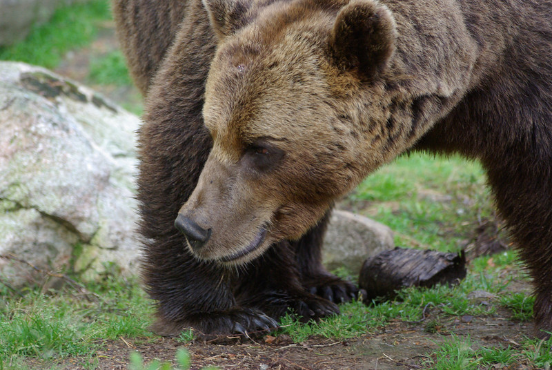 Animals. Finland. Mature male brown bear. An attempt to capture the power of these awesome animals.