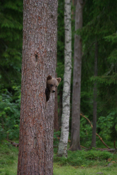 """Animals. Finland. A brown bear cub. One of the main causes of mortality in young bears is being attacked by older males. So if a mature bear as much as stares at a young one, the cub usually shins up the nearest tree for cover. Second in class: """"definitely an ahh picture, but well-composed""""."""