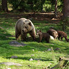 Animals. Female bear and three cubs, in Finland