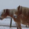Gamlingay in the Snow. We had a brief spell of snow at the start of February, and I spent a couple of hours capturing some pictures around the village. These horses attracted me, and especially their colour against the white of the snow. This one was first in class.