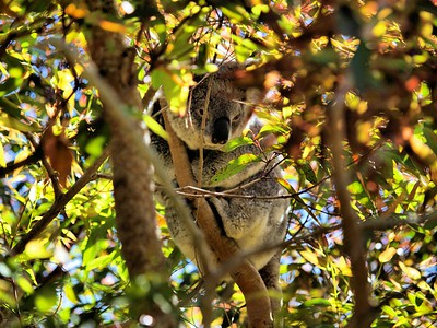 "2 - ""Hidden Koala"" by Pontiac005  Make                  OLYMPUS IMAGING CORP. Model                 E-520 Software              Paint Shop Pro Photo 12.01 Date/time             8/3/2008 1:59:20 PM Exposure time         1/250 s F-number              f/3.5 Exposure program      Normal Program ISO speed ratings     ISO 100 Date/time original    8/1/2008 10:30:15 AM Date/time digitized   8/1/2008 10:30:15 AM Exposure bias value   -0.70 eV Max. aperture value   f/2.8"