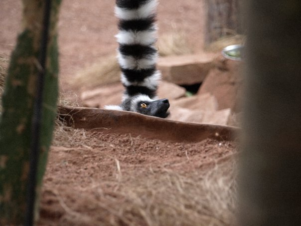 "3 - ""Hidden lemur"" by Symtex"