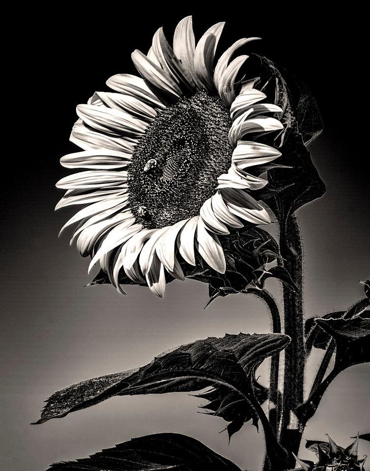 7 Giant Sunflower
