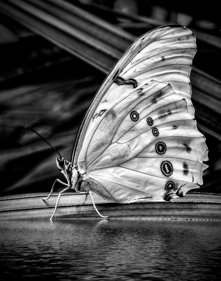 13 White Butterfly