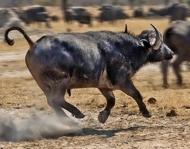 4. Racing Buffalo