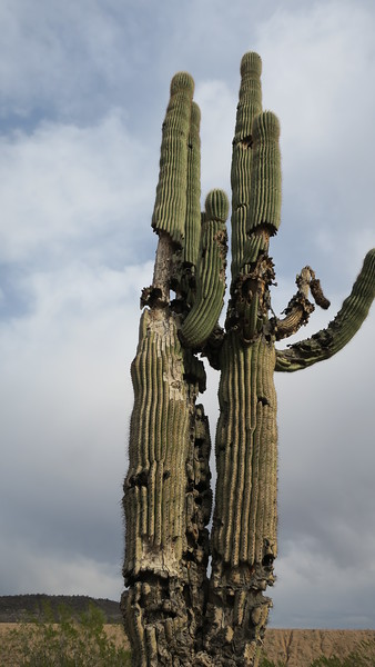 some very oddly shaped saguaro nearby