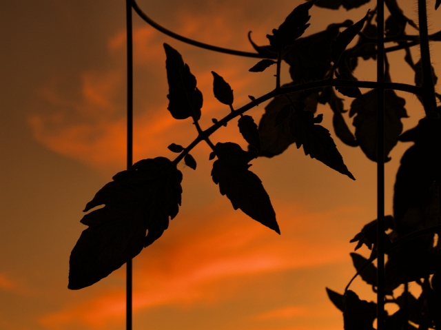 Pontiac005 A Plants Sunset