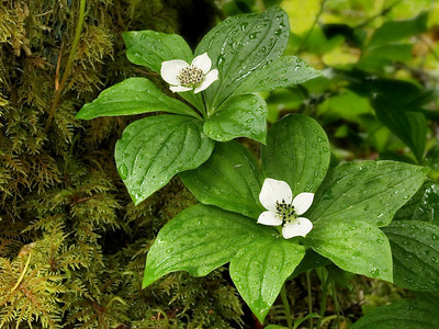 eppic pair of bunchberry