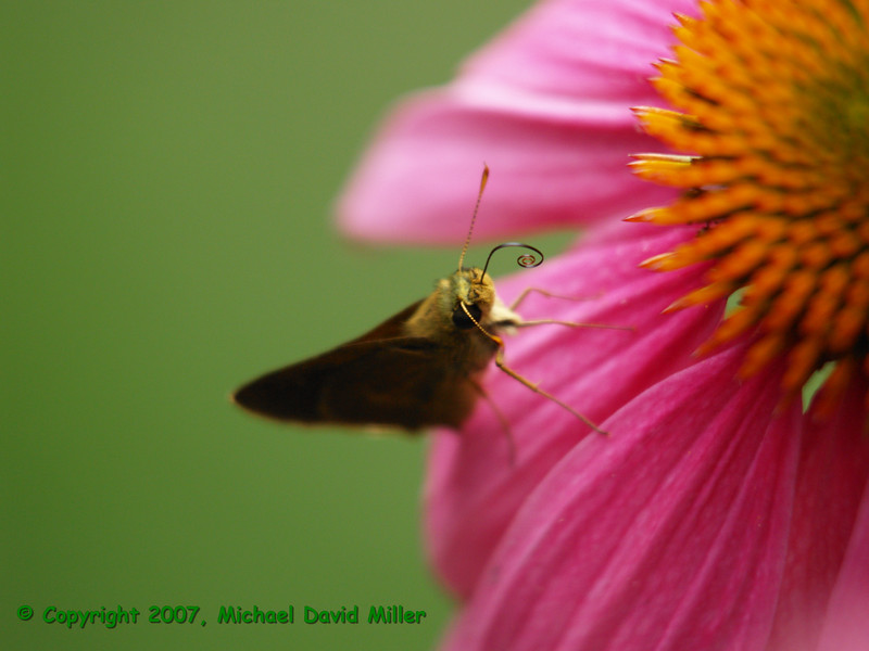Mister Mike a Dun Skipper on a Coneflower (Echinacea).  Oly E500 w/ZD50-200 + EX25. ISO400, 1/320, f3.5.