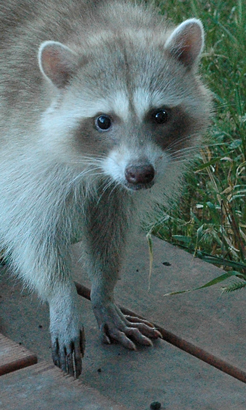 """Ricki Raccoon""<br /> <br /> Pittsburg, CA<br /> <br /> Class: Animals<br /> Place: Honorable Mention"
