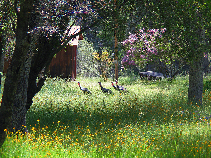 """Turkey Gang on the Farm""<br /> <br /> Old Highway, near Mariposa.<br /> <br /> Class: Landscapes<br /> Place: Honorable Mention"