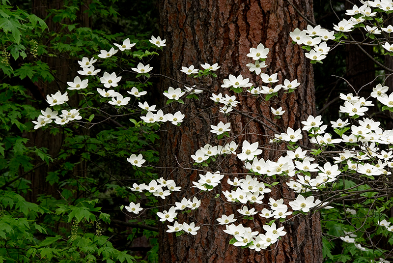 """Dogwood Blossoms""<br /> Yosemite Valley, CA<br /> <br /> Section: Professional Enlargements<br /> Class: Flowers <br /> Place: Honorable Mention"