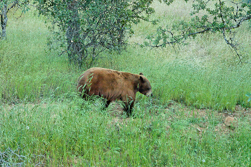 """Backyard Visitor""<br /> (California Black Bear)<br /> Mariposa, CA<br /> <br /> Section: Snapshots<br /> Class: Animals  <br /> Place: None"