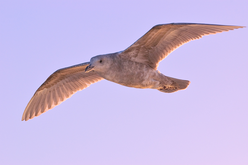 """Gull at Sunset, Puget Sound""<br /> Puget Sound, WA<br /> <br /> Section: Professional Enlargements<br /> Class: Animals <br /> Place: none"