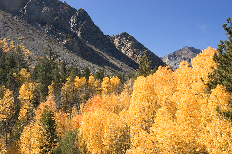 """Aspens in Lee Vining Canyon"" Eastern Sierra, CA  Section: Snapshots Class: Landscape, Natural Place: <b><font color=""blue"">1st</font></b>"