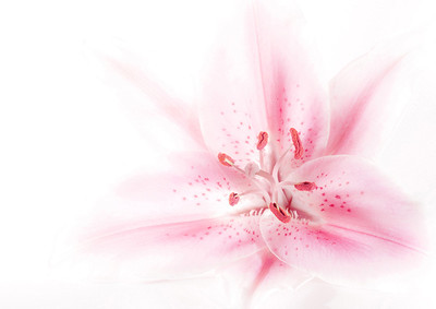 "Highly Commended - ""Pink Lily"" - Steven Harrison"