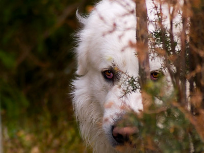 Mic_finn My Pyrenean mountain dog trying to hide from the camera as usual...  Shoot with E-330 and Sigma 55-200 @ 200mm, f5.6, exposure 1/400sec, ISO400.  Title: Pickaboo says the predator