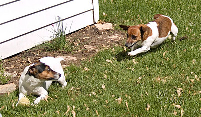 Ddaside88 When our two Russells play, they do it like Russells do everything - intensely. Jack (left) loves playing ball, Zoe doesn't, but takes them just to pester him. I would title this one:  UH OH!