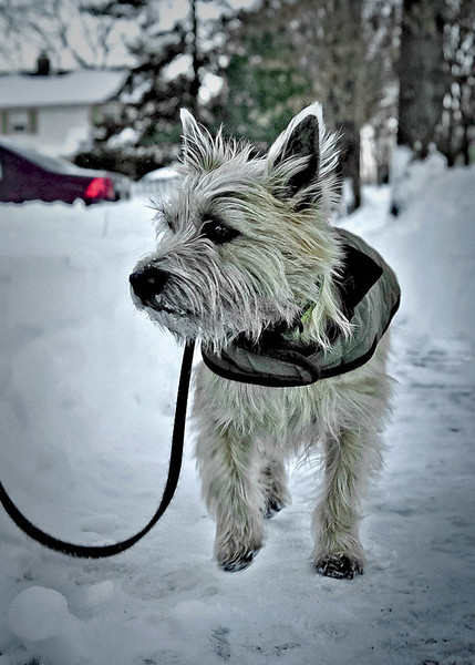 HM-Aldo, the Cairn Terrier
