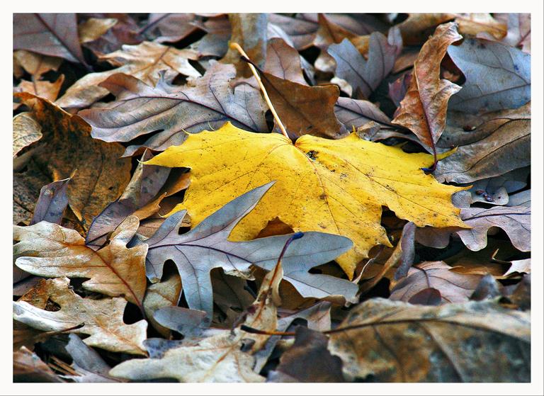 HM - 'A Maple among the Oaks'