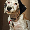 """GM - Lili, my English Pointer, says, """"More gruel, please, Guvnah!"""""""